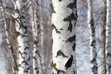 betula pendula: Tronco di betulla in natura