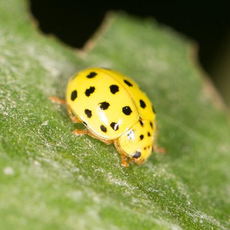 ladybug on leaf: Yellow ladybug on nature. close