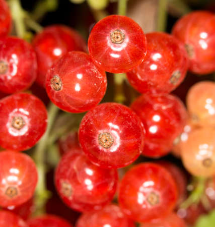monoculture: close-up of a red currant in the fruit garden Stock Photo