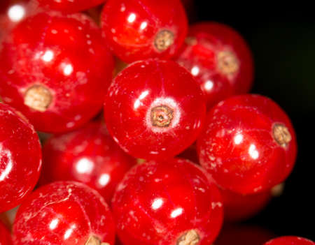 monoculture: Close-up of a red currant in the fruit garden