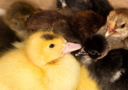 duckling: Portrait of a small duckling Stock Photo