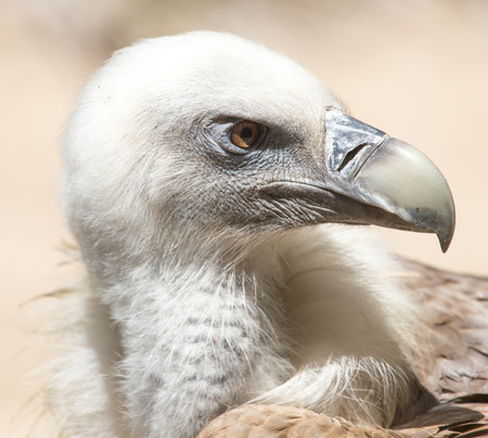 scavenging: Portrait of vulture in the nature