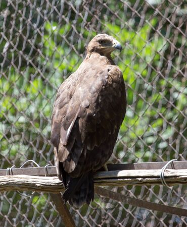 chrysaetos: Portrait of an eagle in nature