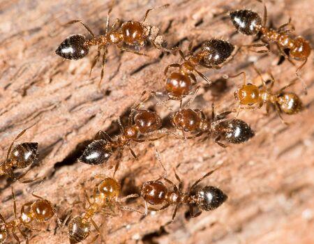 hormiga: hormigas en madera. acercamiento