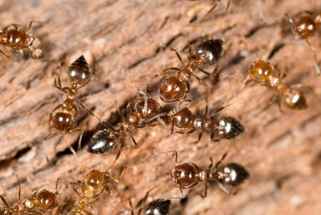 red ant: ants on wood. close-up Stock Photo