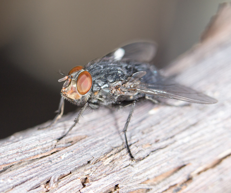 ''close up'': House fly close up