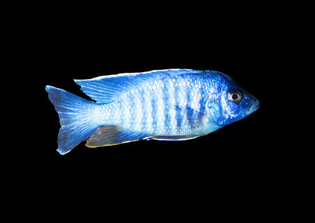 blue fish: blue fish on a black background