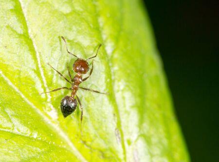 hormiga hoja: Hormiga en una hoja verde. acercamiento