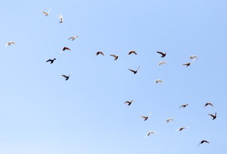 青い空にハトの群れ