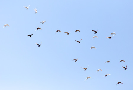flock of pigeons on blue sky