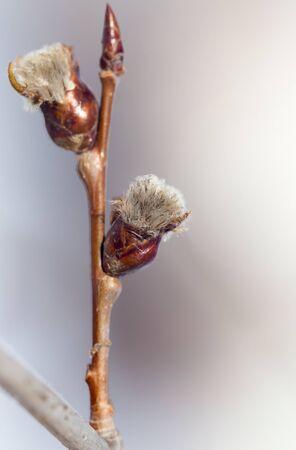 burgeon: burgeon on a tree branch