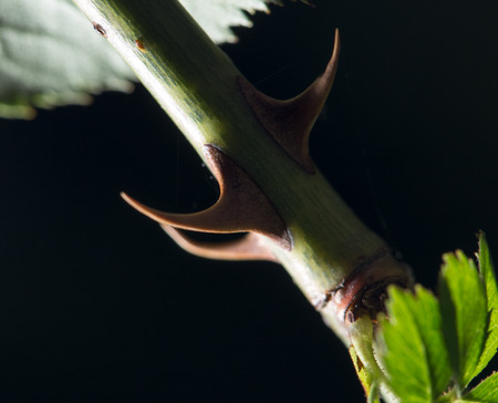 thorn tip: thorns on a rose branch. close