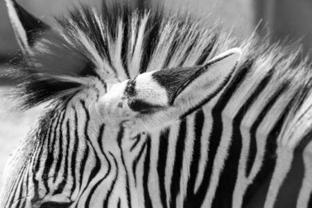 stripes: zebra stripes Stock Photo