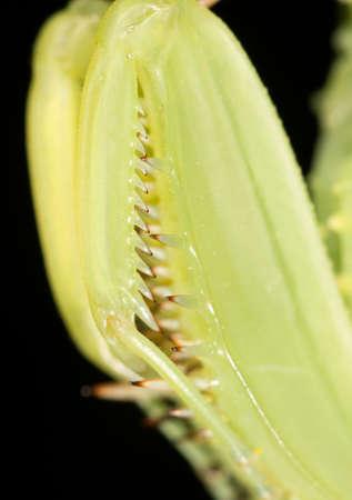 mantis: Foot mantis
