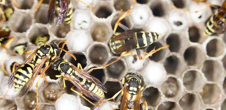 paper wasp: Wasps.  Stock Photo