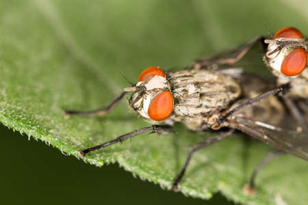 coitus: Fly make love. close up Stock Photo