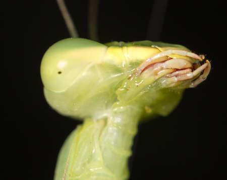 mantis: Mantis, macro