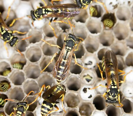 paper wasp: Wasps. close up