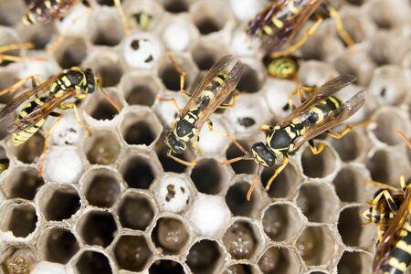 paper wasp: wasps. close Stock Photo