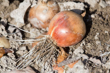 bulb and stem vegetables: onions on a bed in the garden