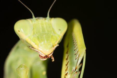 mantis: mantis, macro Stock Photo