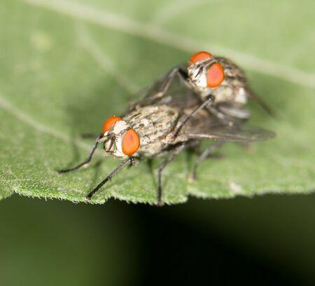 coitus: fly make love. close Stock Photo