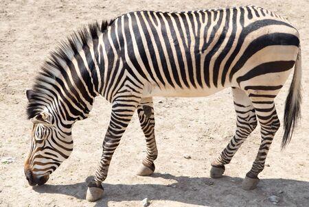 zebra head: zebra in the zoo