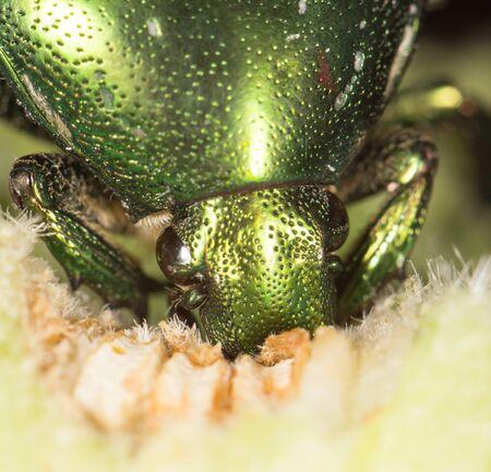scarabaeidae: chafer in nature. close