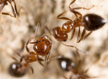 hormiga: hormiga en el suelo. Super Macro