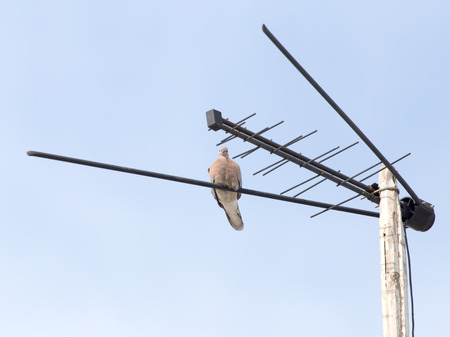 small flock: pigeon on the antenna