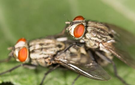 reproduction: fly reproduction. close Stock Photo