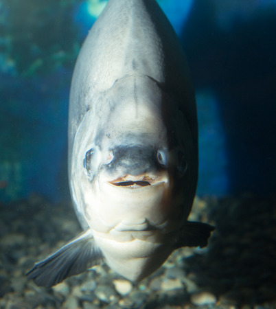 piranha: big piranha in the aquarium Stock Photo