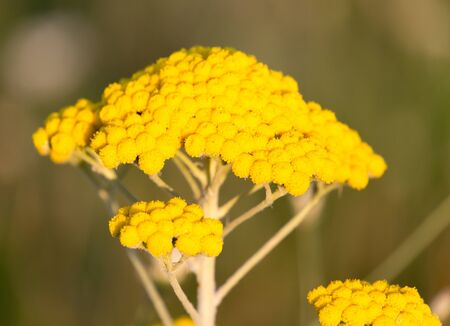 yarrow: yarrow yellow flower in nature