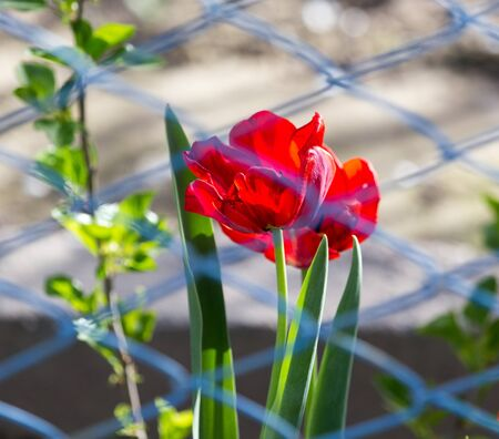 bud weed: tulip behind the fence Stock Photo