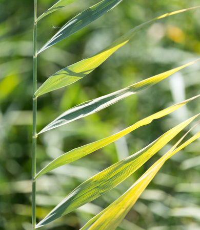 bulrush: bulrush in nature as a background