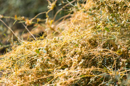 parasite: yellow grass on the nature of the parasite