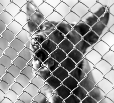 perro furioso: perro enojado detr�s de la valla Foto de archivo