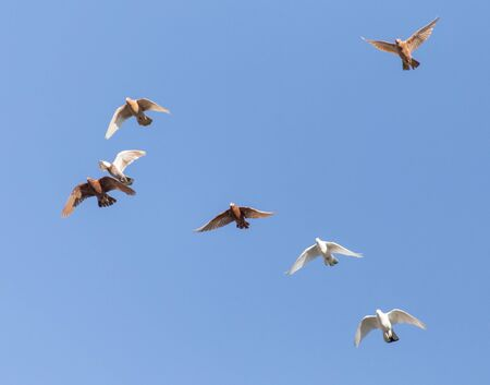 homing: a flock of pigeons in the blue sky