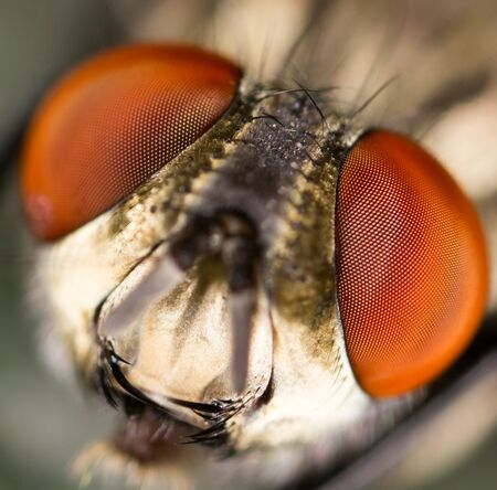 microscope lens: Extreme sharp and detailed study of fly head stacked from many shots taken with microscope lens