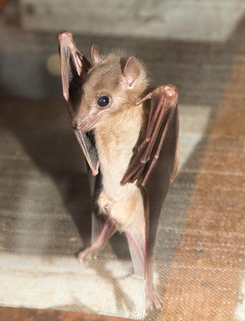 echolocation: bat at the zoo Stock Photo