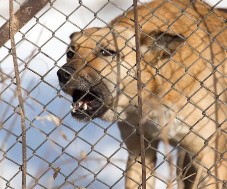 angry dog: angry dog behind a fence Stock Photo