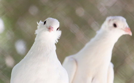 white dove: beautiful white dove in nature Stock Photo