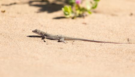viviparous lizard: lizard in the nature