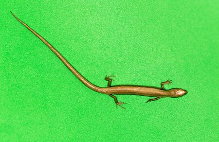 africa chameleon: lizard on a green background