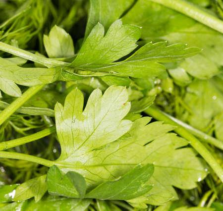parsley: parsley. close-up Stock Photo
