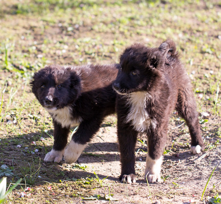 sniff dog: two black puppy on nature