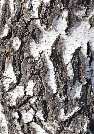 birch bark: background from the bark of the birch Stock Photo