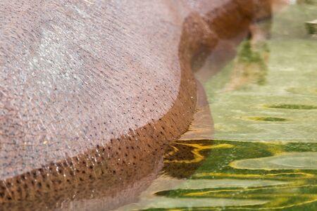 zoo youth: hippopotamus skin as background