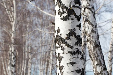 betula pendula: birch trunk in nature