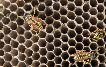 paper wasp: wasp on hives. close